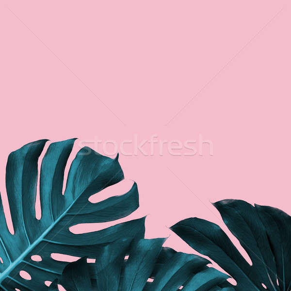 Tropical Leaves of monstera on a pink duotone background Stock photo © artjazz