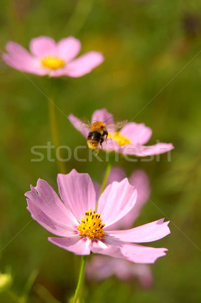 Fly of the bee on flowers Stock photo © artjazz