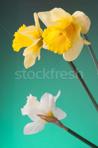 yellow and white narcissus on green background Stock photo © artjazz