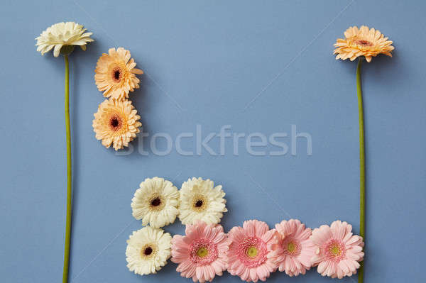 White, orange, pink gerbera on a blue paper background, Stock photo © artjazz