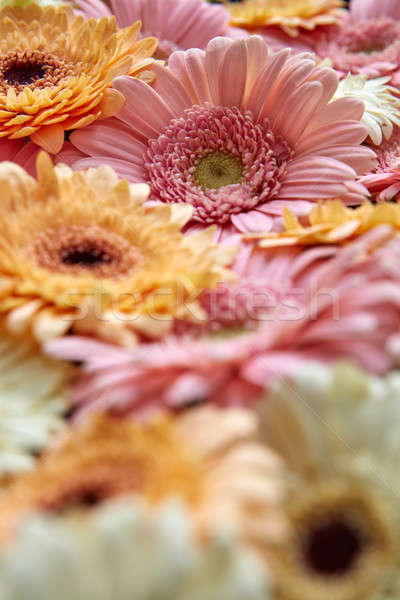 Close-up of different gerbera flowers. Flower concept Stock photo © artjazz