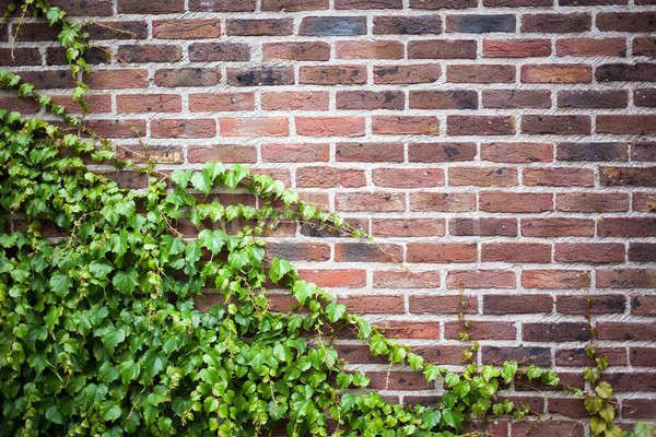 Eski tuğla duvar yeşil sarmaşık yaprakları ev Stok fotoğraf © artjazz