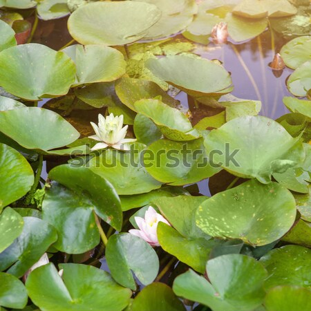 Beautiful white and pink waterlily or lotus flower in pond Stock photo © artjazz