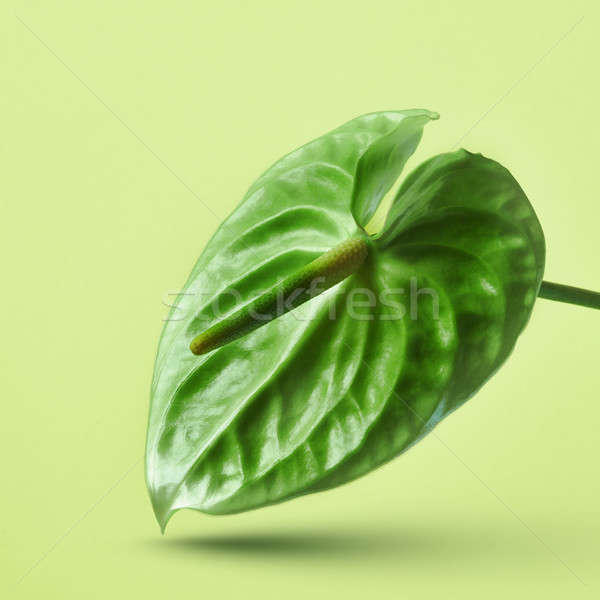 Green anthurium flower isolated on a yellow background Stock photo © artjazz
