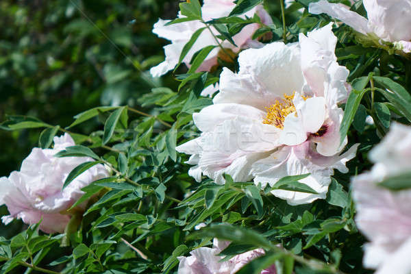 Stock photo: white peony flowers in spring in the garden