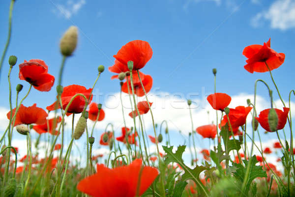 poppy against blue sky Stock photo © artjazz