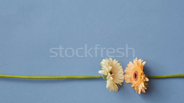 White and orange gerbera isolated on a blue paper background. Stock photo © artjazz