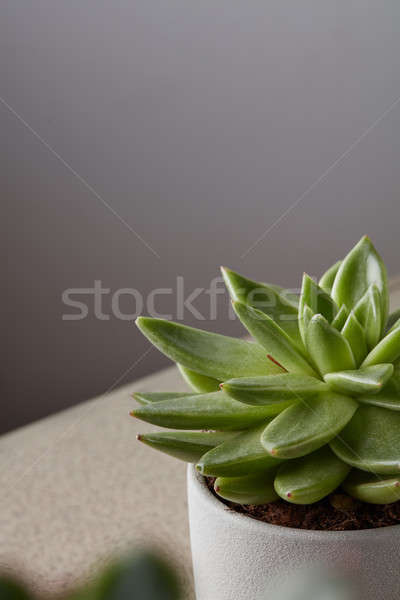 Succulent maison usine blanche plateau gris Photo stock © artjazz