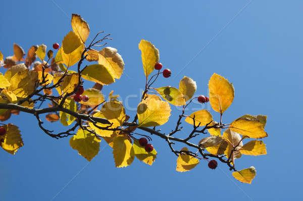 Autumn leaves against blue sky Stock photo © artjazz