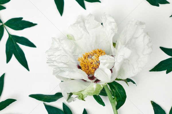 Delicate white peony on white background. Stock photo © artjazz
