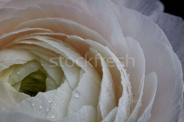 White buttercup with drops, macro photo. Natural pattern Stock photo © artjazz