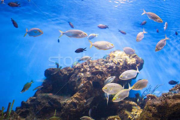 Okul ton balığı balık deniz su arka plan Stok fotoğraf © artjazz
