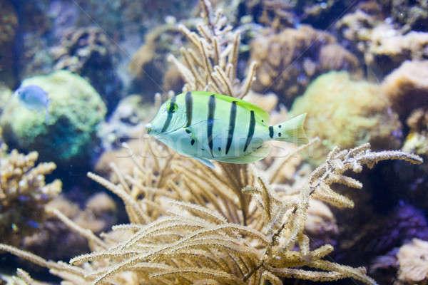 сержант рыбы коралловый риф аквариум солнце морем Сток-фото © artjazz