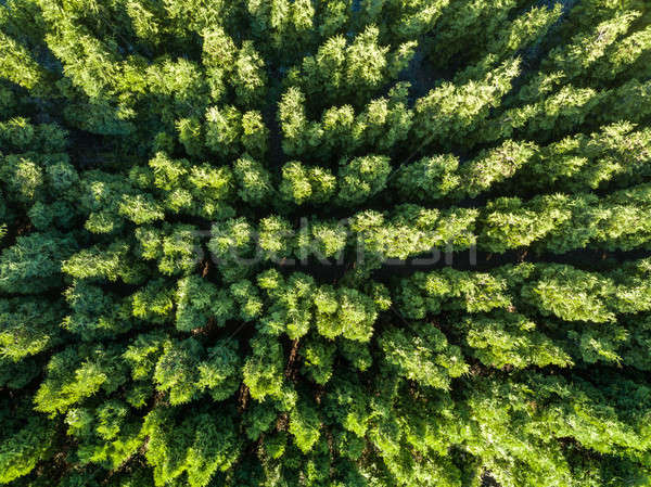 Top view of a green forest. Natural background. Drone photograph? Stock photo © artjazz