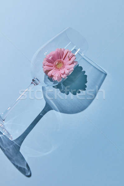 Composition from a glass and gerbera on a blue background. A flower concept. Stock photo © artjazz