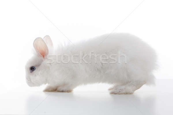 White rabbit isolated on white background Stock photo © artjazz
