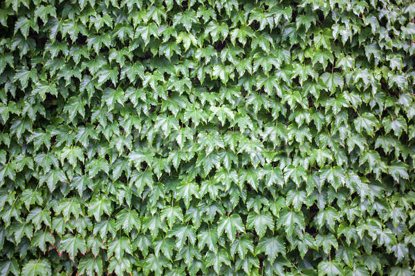 Green leaves for background Stock photo © artjazz