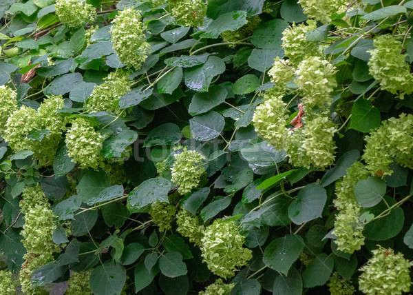 Bush pallido verde fiori estate Foto d'archivio © artjazz