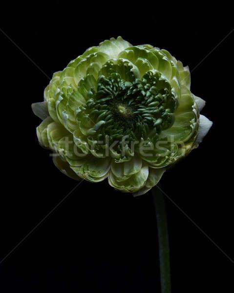 緑 クローブ 花 黒 現在 ストックフォト © artjazz