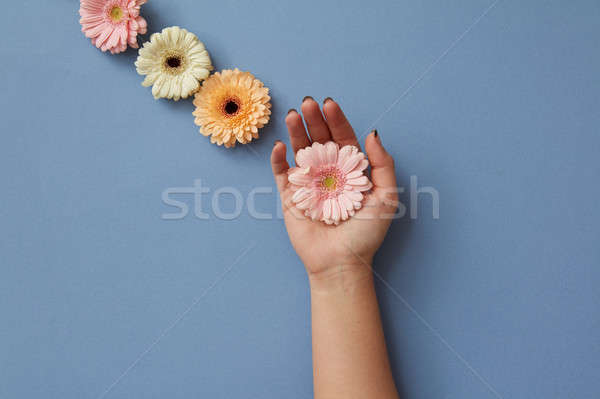 A composition of gerberas, a girl's hand holds a pink flower on a blue background. Stock photo © artjazz