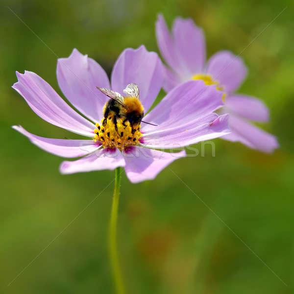 蜂 ピンクの花 春 太陽 オレンジ 緑 ストックフォト © artjazz