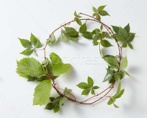 frame Green ivy plant Hedera helix Stock photo © artjazz