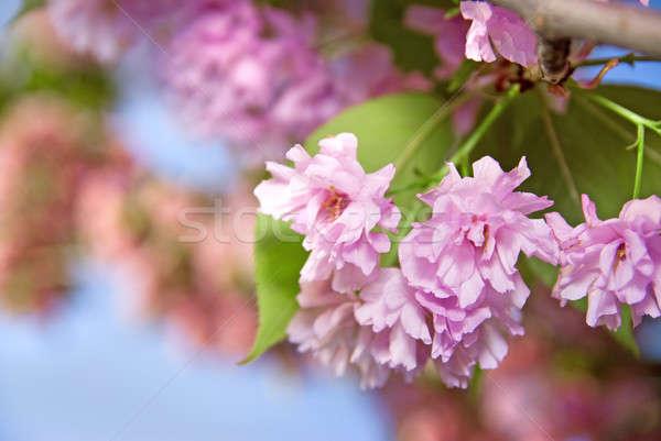 çiçek mor sakura bahar mavi gökyüzü Paskalya Stok fotoğraf © artjazz
