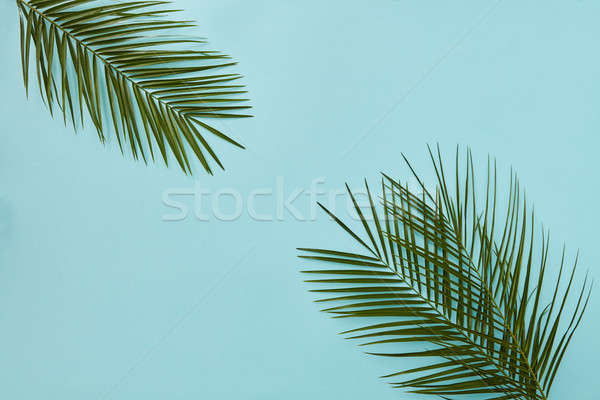 Feuilles de palmier isolé bleu espace de copie nature Photo stock © artjazz