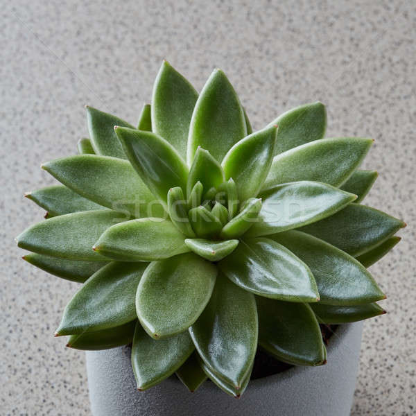 Haut vue succulent usine pot pierre Photo stock © artjazz