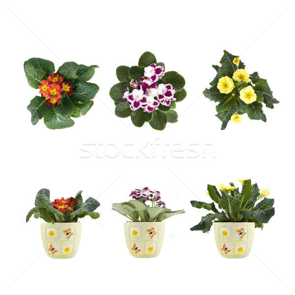 violet and marguerite bouquet in pots isolated on white Stock photo © artjazz