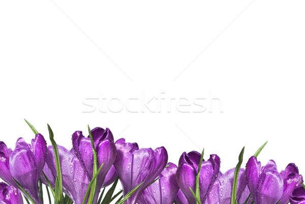 crocus bouquet isolated on white Stock photo © artjazz