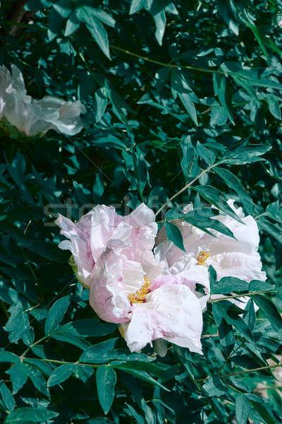 Foto stock: Flor · cabeça · jardim · folhas · verdes · luz