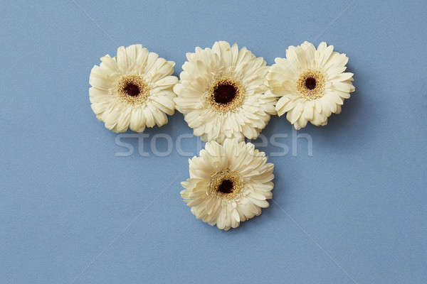 White gerbera flowers on a blue paper background. Stock photo © artjazz