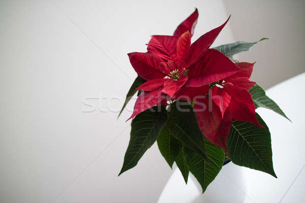 christmas flower red Poinsettia in the pot on light backround Stock photo © artjazz