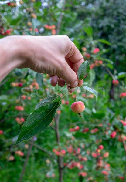 Kéz kicsi édenkert alma zöld levelek kert Stock fotó © artjazz