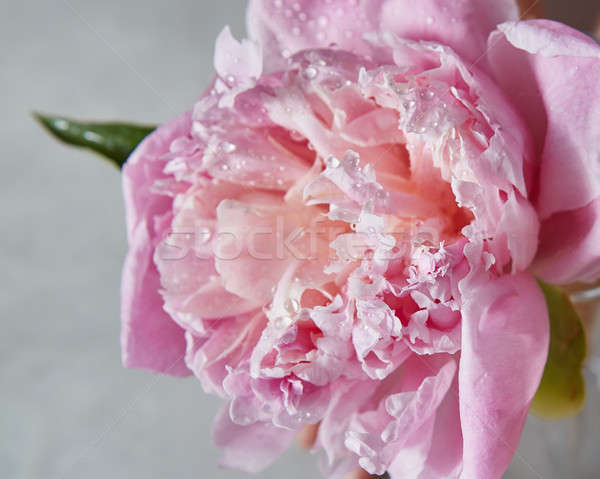 Close-up of water droplets on a delicate pink peony flower with  Stock photo © artjazz