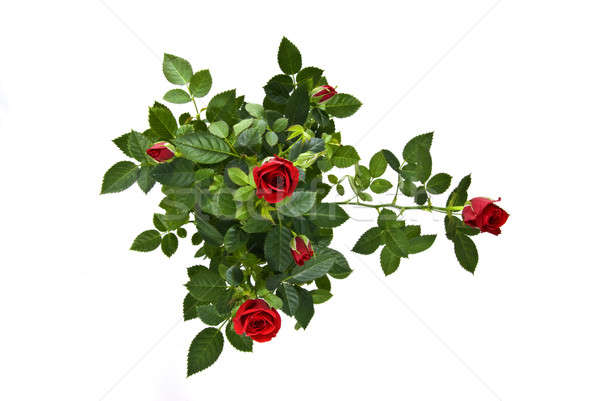 Kırmızı gül buket yalıtılmış beyaz çiçekler düğün Stok fotoğraf © artjazz