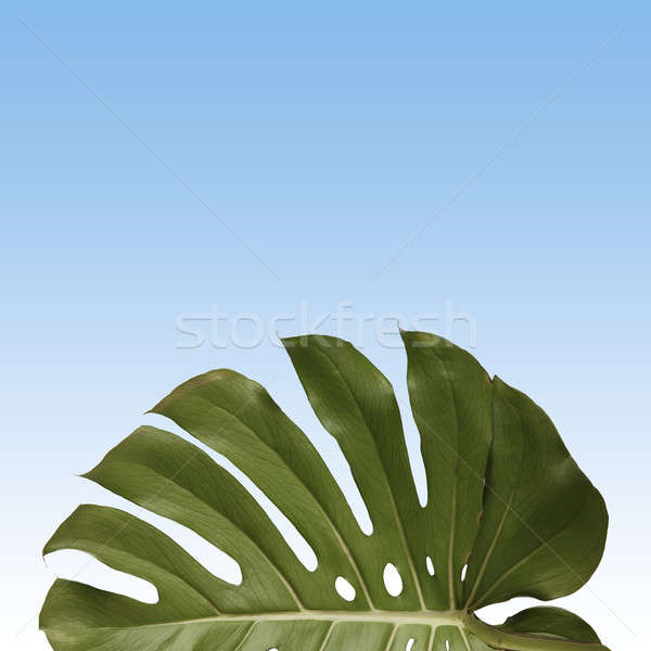 pattern of green monstera leave Stock photo © artjazz