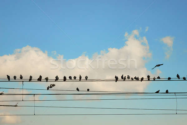 Group pigeons of sitting on wires Stock photo © artjazz