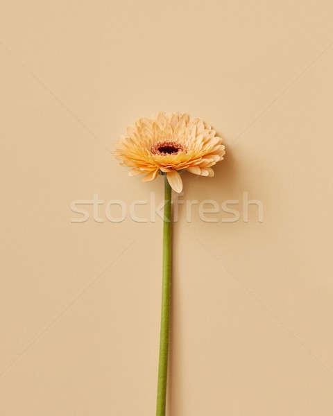 One beautiful flower beige gerbera Stock photo © artjazz