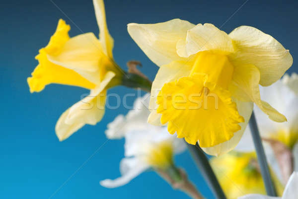 yellow and white narcissus on blue background Stock photo © artjazz