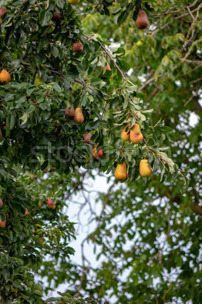 Yellow ripe pear fruit on a tree in a summer garden.The concept of organic food Stock photo © artjazz