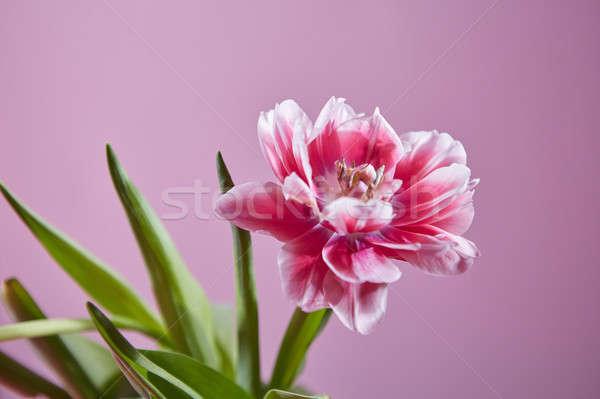 Lâle çiçek pembe kartpostal pembe çiçek Stok fotoğraf © artjazz