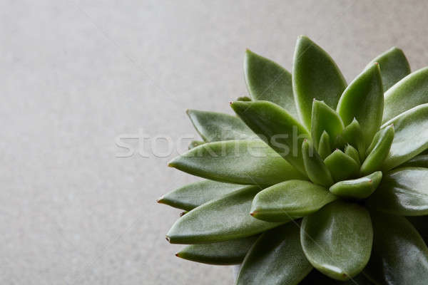 Succulent cactus design d'intérieur evergreen laisse Photo stock © artjazz