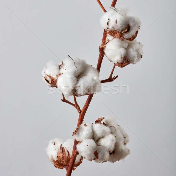 Güzel beyaz pamuk çiçekler gri şube Stok fotoğraf © artjazz