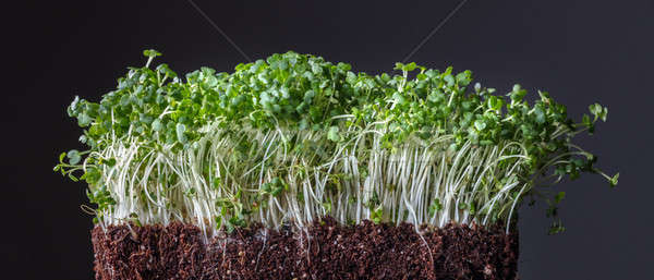 Green tiny sprouted growing out from organic soil isolated on black Stock photo © artjazz