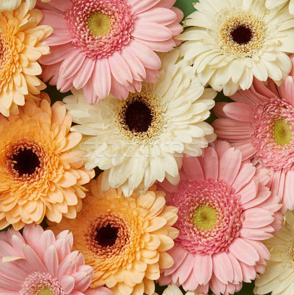 Floral background of different beautiful gerberas Stock photo © artjazz