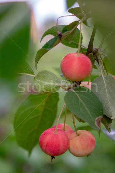 Rural garden with ripe paradise apples harvest time Stock photo © artjazz