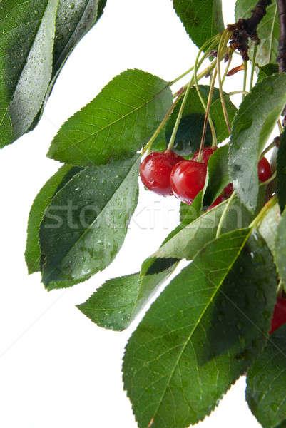 Сток-фото: красный · Вишневое · листьев · капли · воды · изолированный · белый