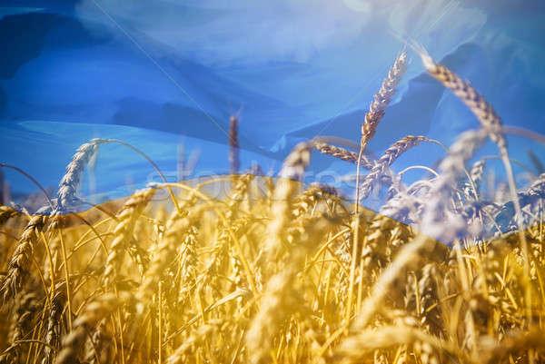 Bayrak Ukrayna alan altın buğday gökyüzü Stok fotoğraf © artjazz